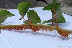 Wiele pnączy wytwarza korzenie przybyszowe także w międzywęźlach, dlatego nie musimy liczyć węzłów (tu - przywarka)