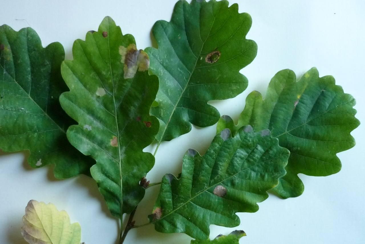 Quercus petraea, Quercus sessilis – dąb bezszypułkowy