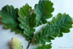 Quercus petraea - dąb bezszypułkowy