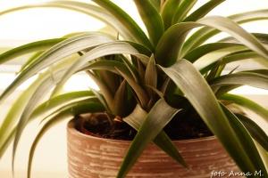 Ananas - liczne rozety potomne