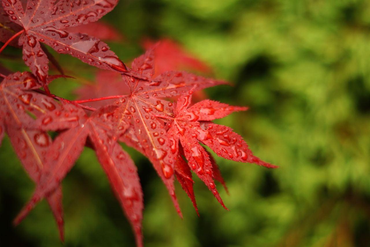 Acer palmatum – klon palmowy