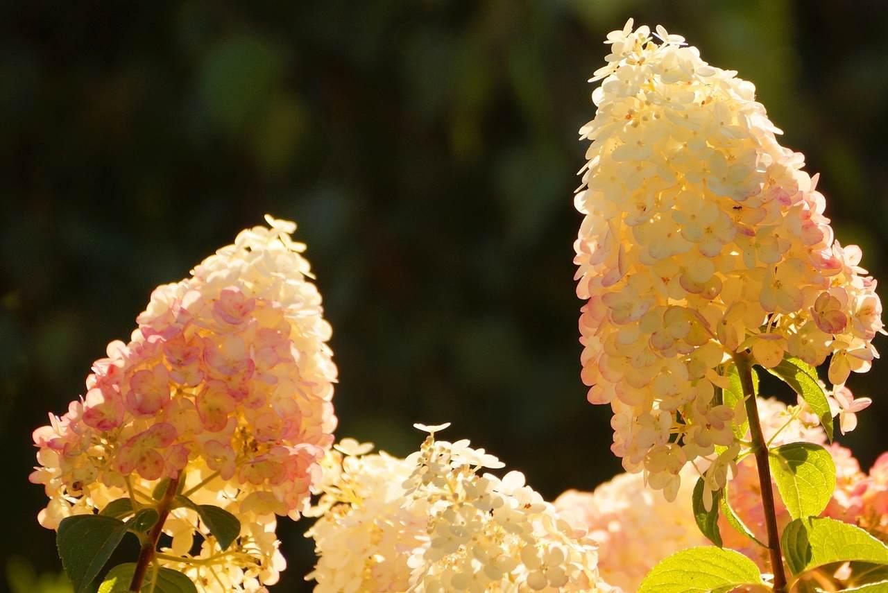 Hydrangea paniculata – hortensja bukietowa, hortensja wiechowata