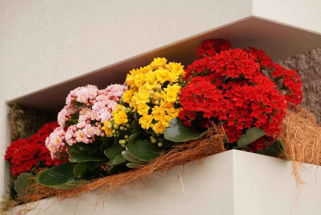 Kalanchoë blossfeldiana – kalanchoe Blossfelda