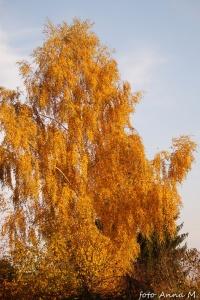 Betula pendula - brzoza brodawkowata jesienią