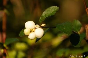 Symphoricarpos albus - śnieguliczka biała