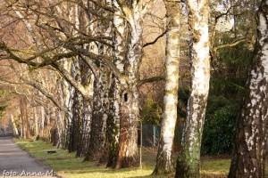 Betula pendula - brzoza brodawkowata, charakterystyczna biała kora