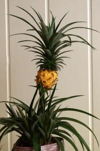 Ananas comosus - ananas jadalny