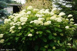 Hortensja krzewiasta szczególnie dobrze znosi nasze zimy