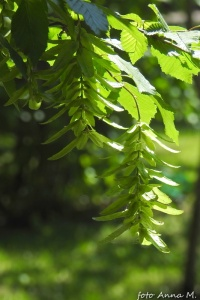 Carpinus betulus - grab pospolity, owoce