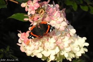 Hydrangea paniculata - hortensja bukietowa `Vanille Fraise`