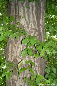 Carpinus betulus - grab pospolity, kora i liście