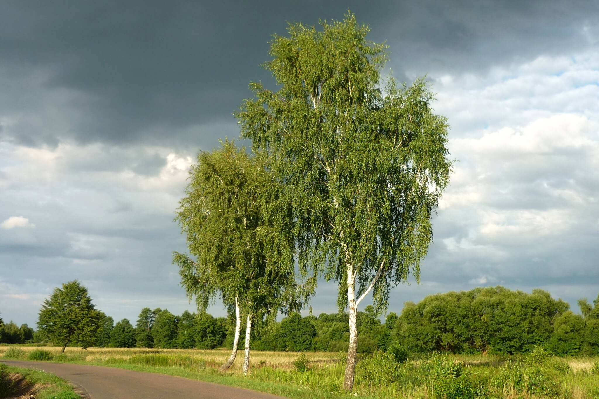 Betula verrucosa, Betula pendula – brzoza brodawkowata, brzoza zwisła