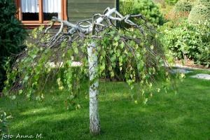 Betula pendula - brzoza brodawkowata, odmiana Youngii