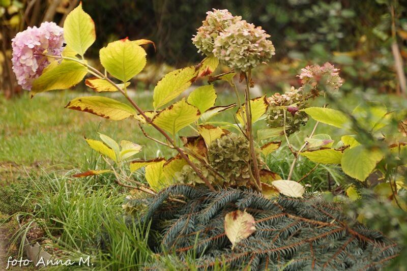 Jesienią kopczykujemy pędy hortensji, następnie przykrywamy np. stroiszem.