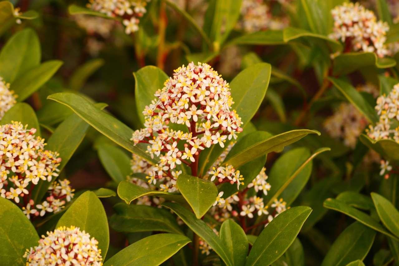 Skimmia japonica – skimia japońska