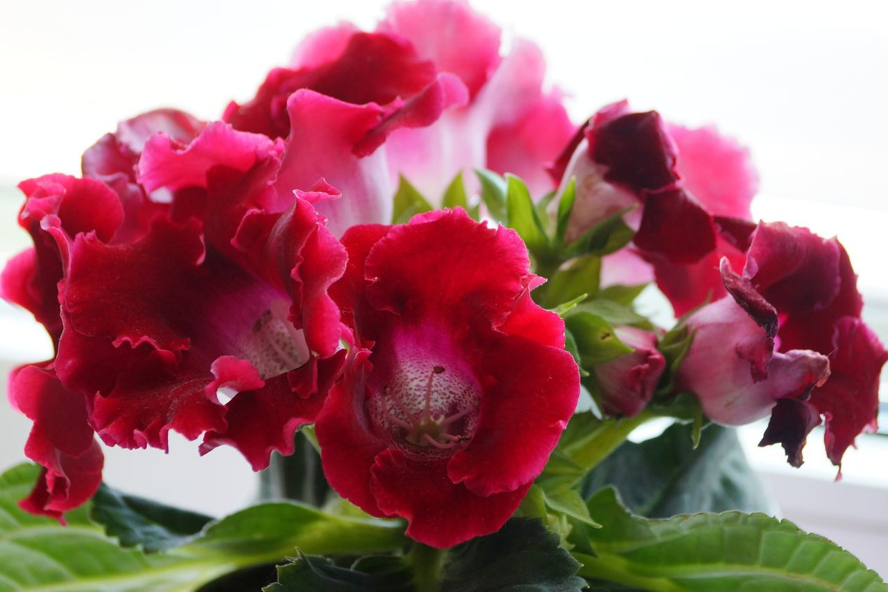 """Sinningia hybrida – syningia mieszańcowa, """"gloksynia"""""""