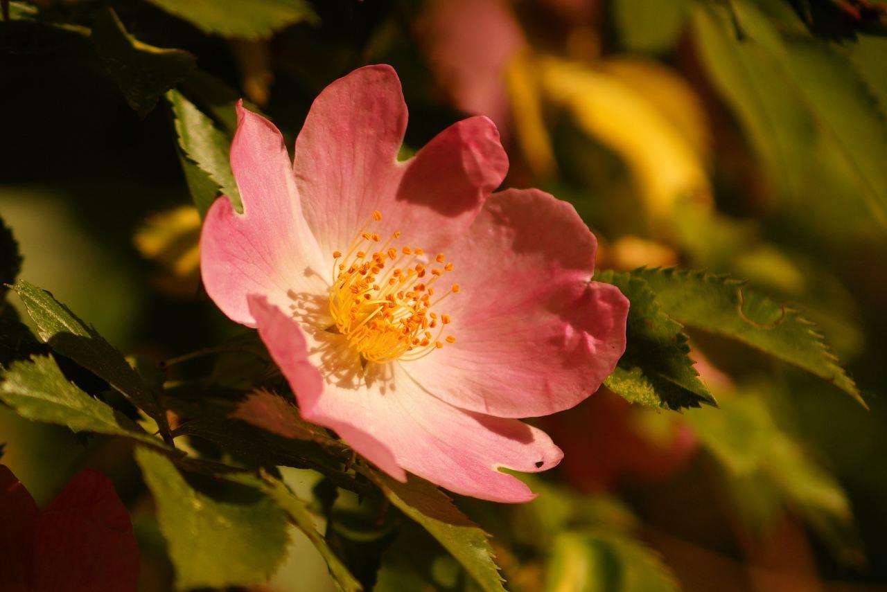 Rosa canina – róża dzika, róż psia, szypszyna