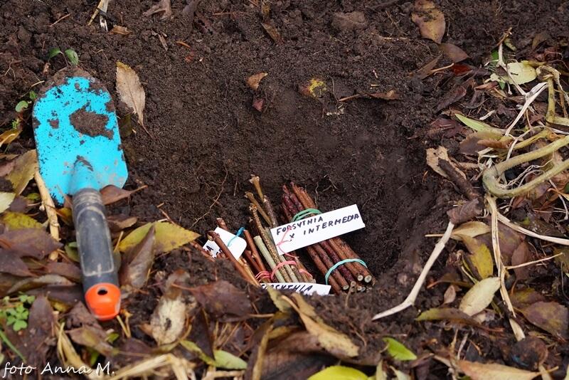 Sadzonki zdrewniałe zadołowane w ogrodzie