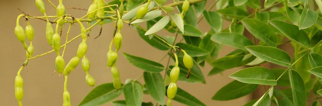 Sophora japonica (Styphnolobium japonicum) – perełkowiec japoński, sofora, szupin