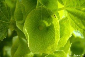 Dzwonki irlandzkie - niepozorne kwiaty giną w okazałych działkach kielicha
