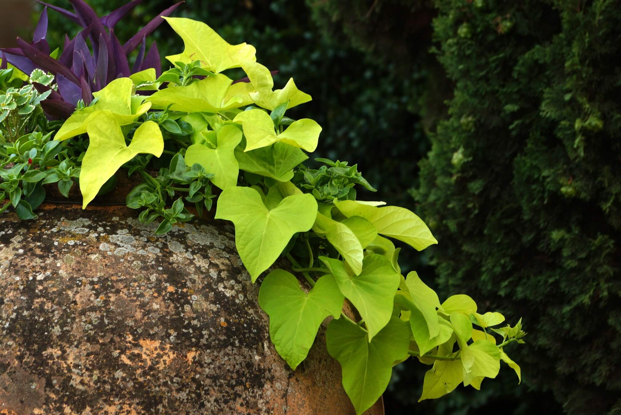 Ipomoea batatas – wilec ziemniaczany