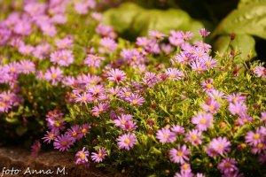 Brachycome (Brachyscome) iberidifolia - czubatka ubiorkolistna