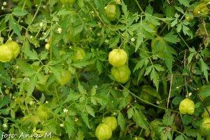 Cardiospermum halicacabum - kardiospermum zielone