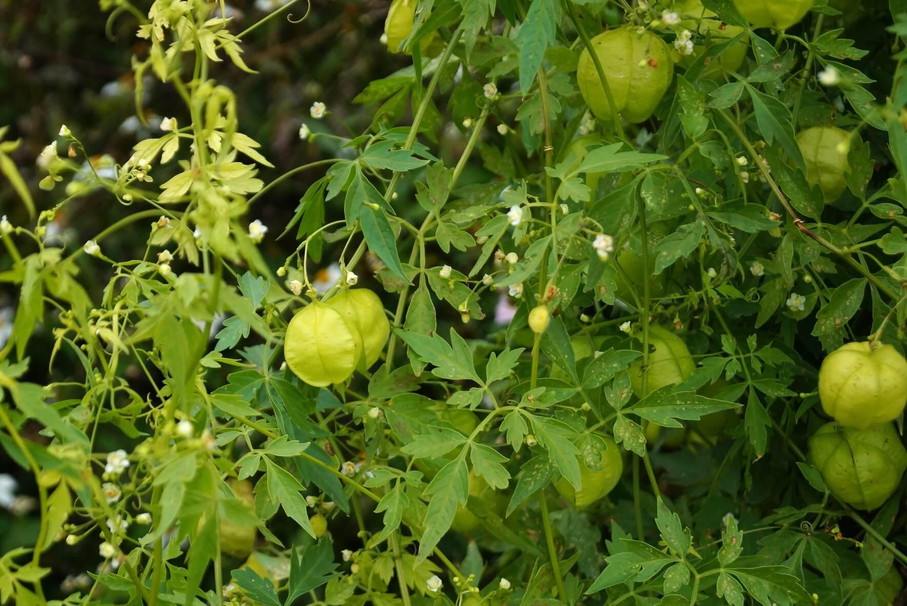 Cardiospermum halicacabum – kardiospermum zielone