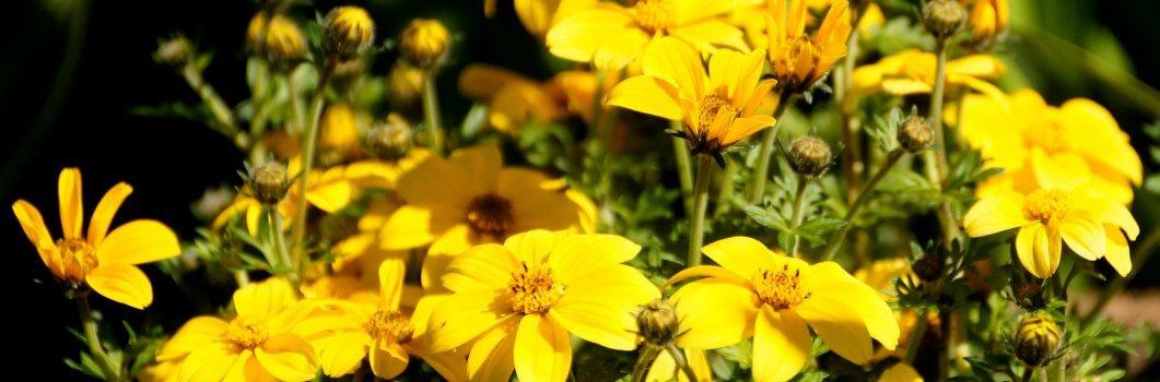 Bidens ferulifolia – uczep rózgowaty