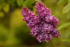 """Lilak (""""bez"""") to typowa roślina majowa"""