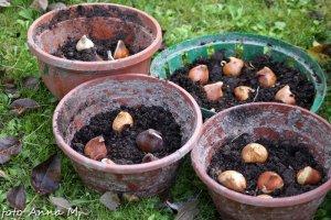 Cebule możemy sadzić w pojemnikach