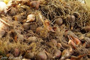 Wykopane cebule muszą być oczyszczone i przesortowane