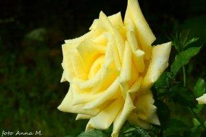 Czerwiec to czas kwitnienia róż