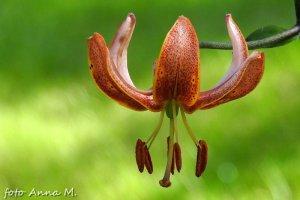 Lilie - jedne z niewielu cebulowych kwitnących latem