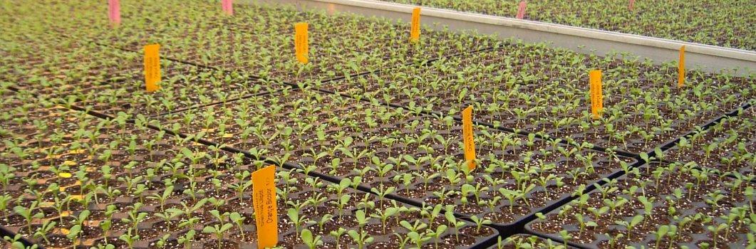 Terminy wysiewu roślin jednorocznych z rozsady