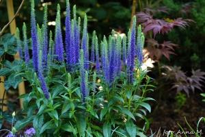 Veronica spicata `Ulster Dwarf Blue` - przetacznik kłosowy