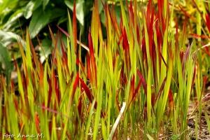 Imperata cylindrica - imperata cylindryczna Red Baron, trawa ozdobna
