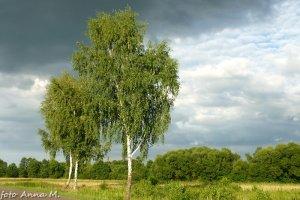 Brzoza brodawkowata jest typową rośliną pionierską
