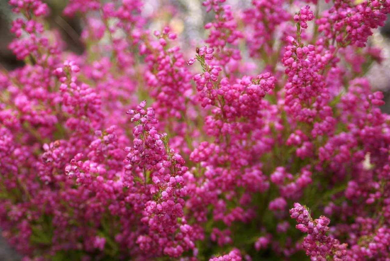 Erica gracilis – wrzosiec delikatny