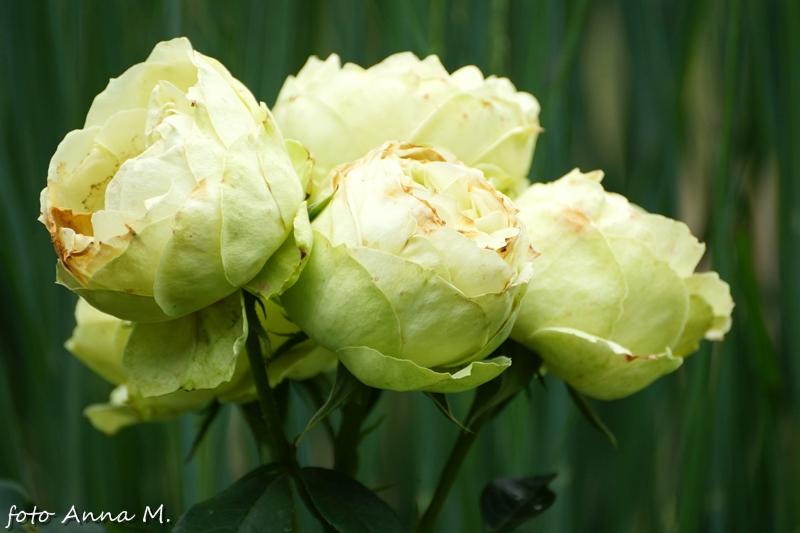 Ogród różany Rosengarten Forst