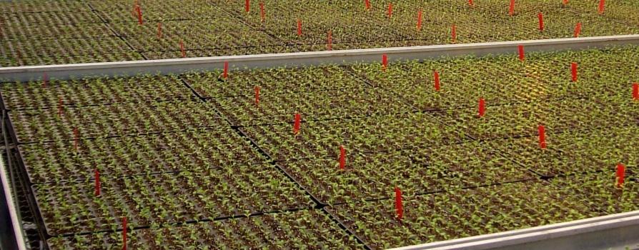 Wysiew nasion  Rozmnażanie roślin, Wysiew
