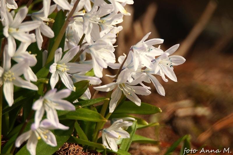 Puschkinia scilloides - puszkinia cebulicowata