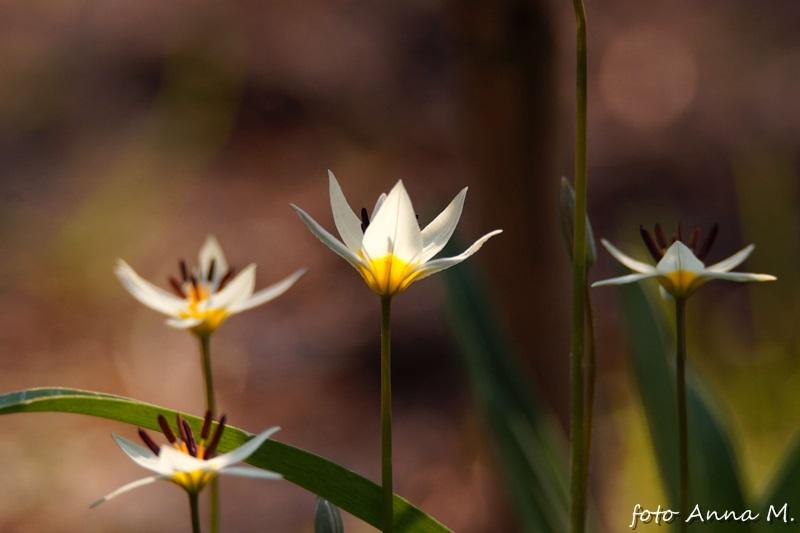 Tulipa turkestanica - tulipan turkiestański