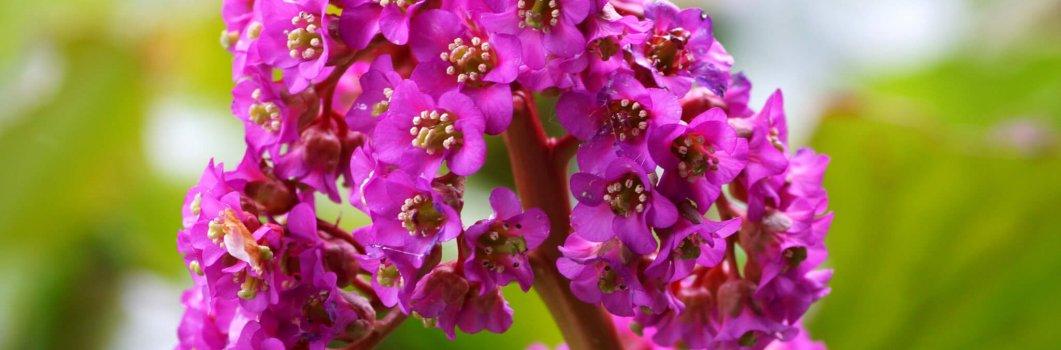 Bergenia cordifolia, Megasea cordifolia – bergenia sercolistna