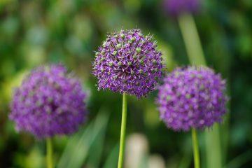 Allium giganteum – czosnek olbrzymi