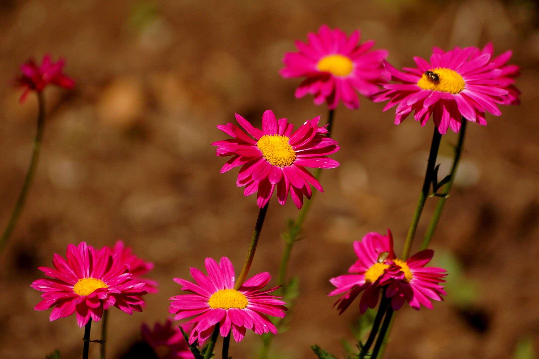 Chrysanthemum coccineum, Ch.roseum, Pyrethrum roseum – złocień  różowy, barwne margerytki