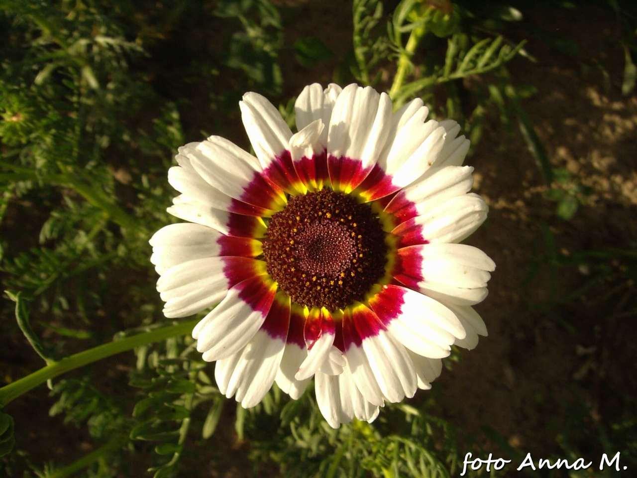 Chrysanthemum carinatum – złocień trójbarwny