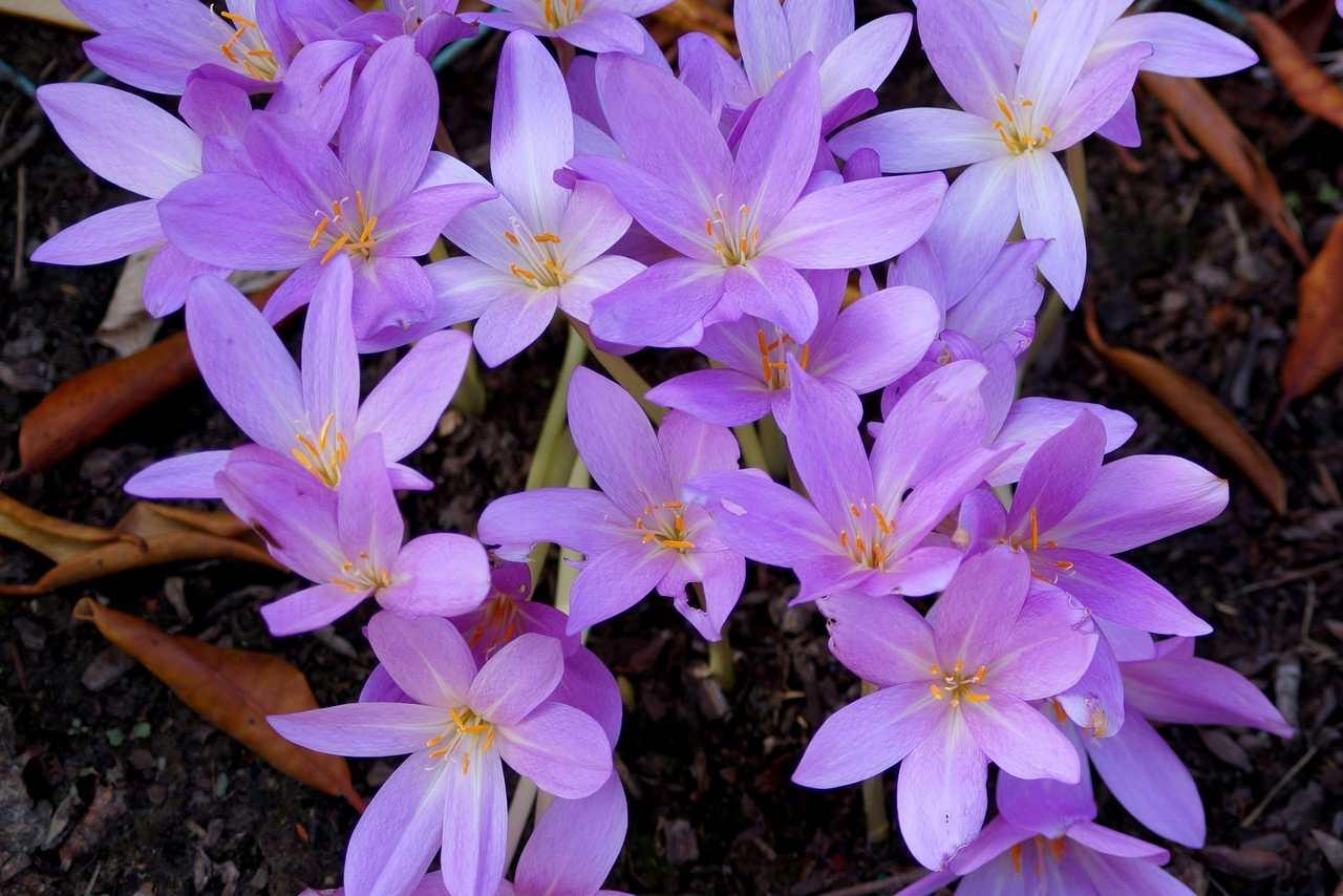 Colchicum autumnale – zimowit jesienny