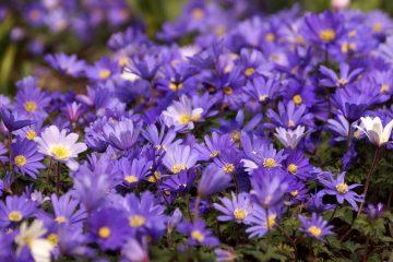 Anemone blanda – zawilec grecki