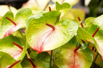 Anthurium andreanum – anturium Andreego